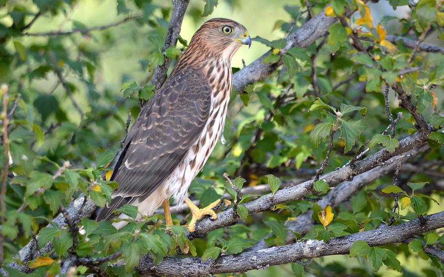 Hawk  by AJ Schibig
