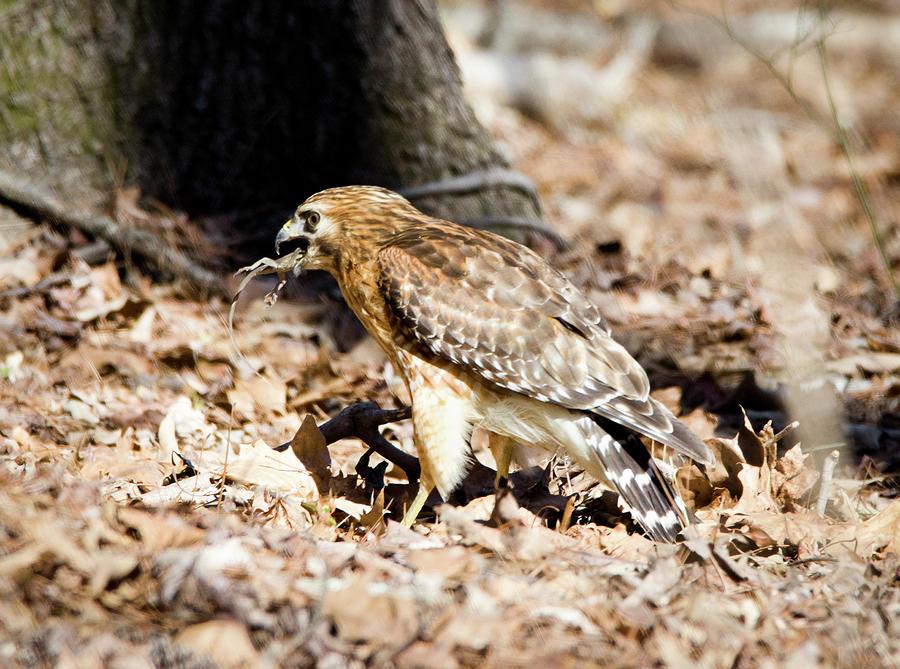 Hawk Photograph - Hawk And Gecko by George Randy Bass