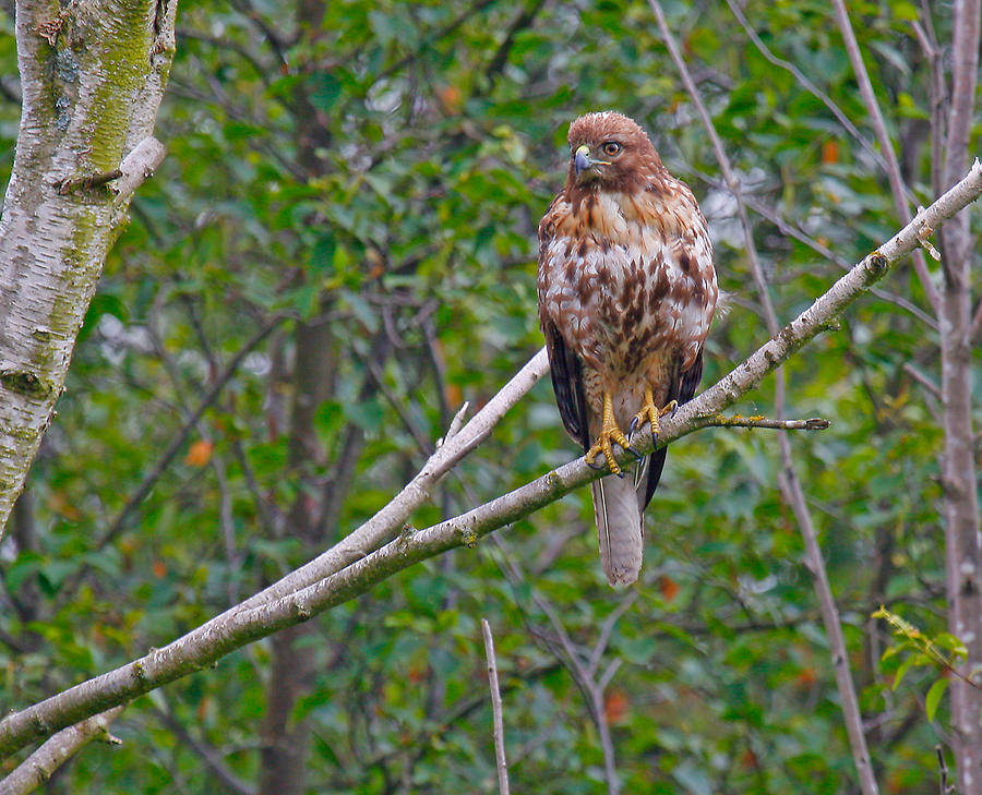 Red Tail Hawk  Photograph - Hawk by Naman Imagery