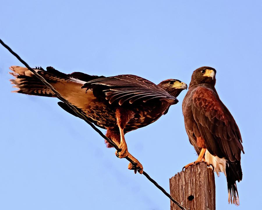 Hawk Duo H34 Photograph