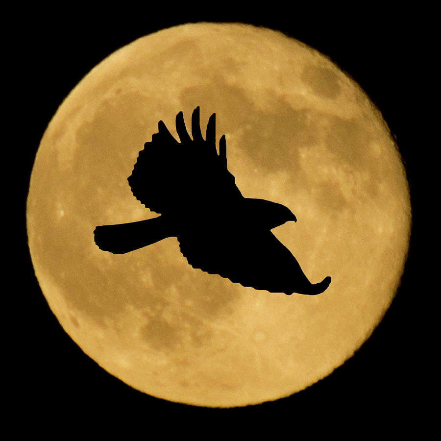 Hawk Flying By Full Moon by Shane Bechler