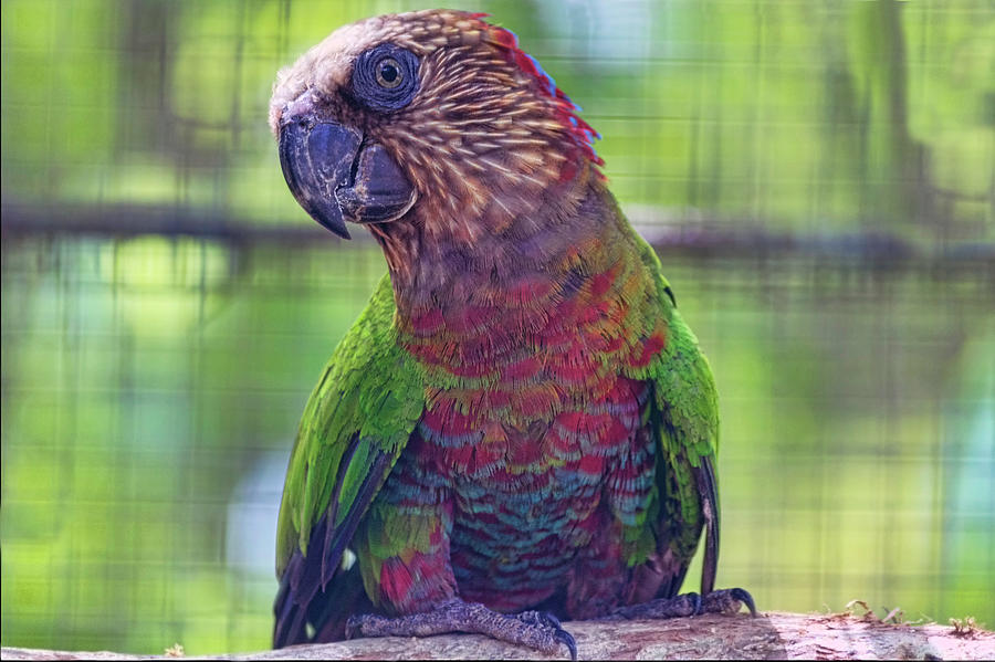 Parrot Photograph -  Hawk-Headed Parrot by Nadia Sanowar
