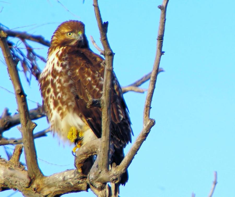 Hawk In A Tree Photograph