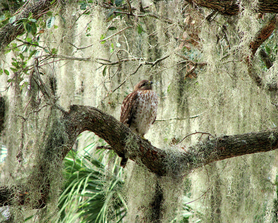 Nature Photograph - Hawk In Live Oak Hammock by Peg Urban