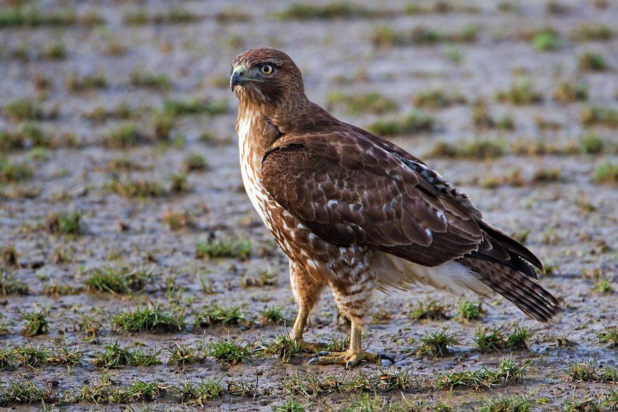 Hawk Photograph - Hawk On A Walk by Randall Ingalls