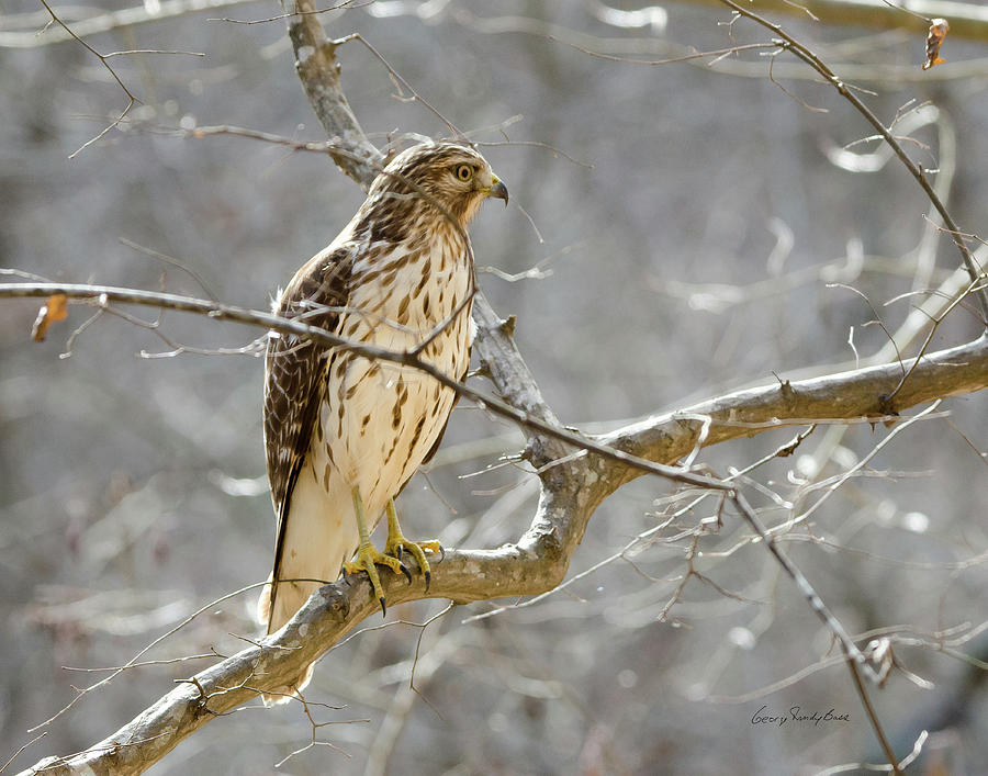 Hawk Photograph - Hawk On Lookout by George Randy Bass