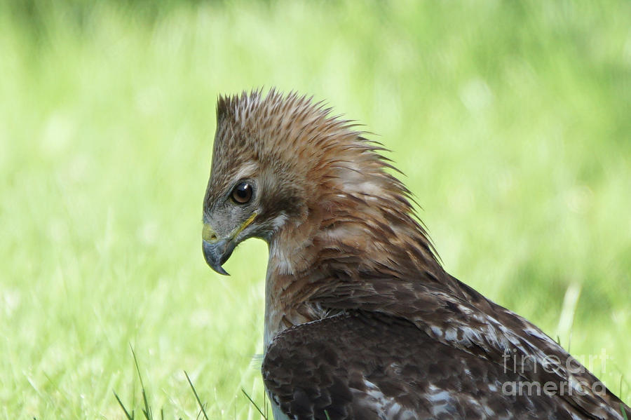 Hawk on the Ground 2 - Contemplating Dinner by Robert Alter Reflections of Infinity