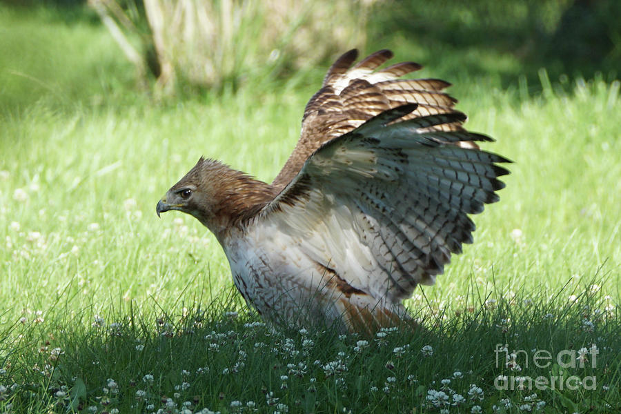 Hawk on the Ground 3 by Robert Alter Reflections of Infinity