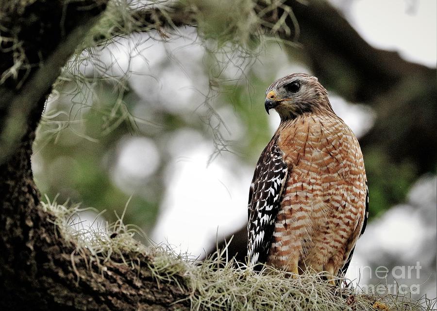 Beautiful Photograph - Hawk On Watch by Diann Fisher