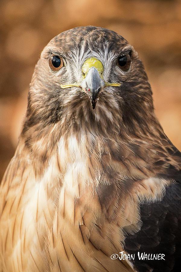 Minnesota Landscape Arboretum Photograph - Hawk Eyes by Joan Wallner