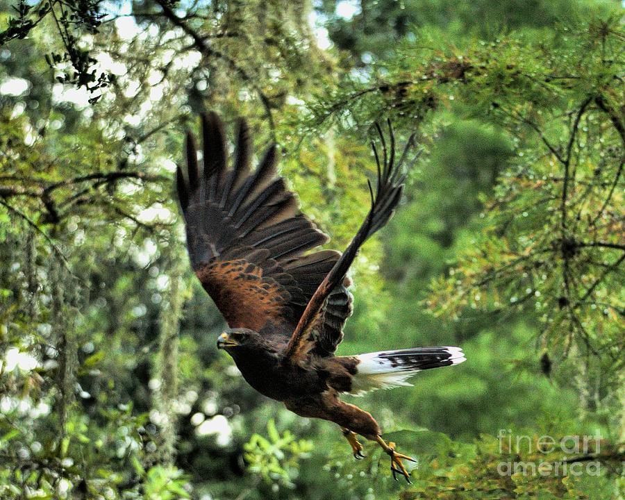 Wildlife_hawk_harris_5 Photograph
