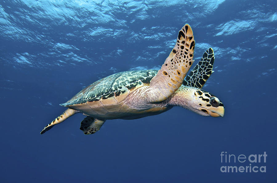 Caribbean Photograph - Hawksbill Sea Turtle In Mid-water by Karen Doody