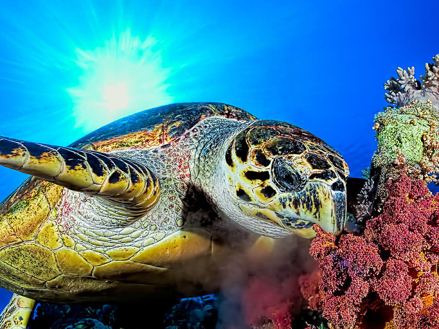 Turtle Photograph - Hawksbill Turtle by Henry Jager