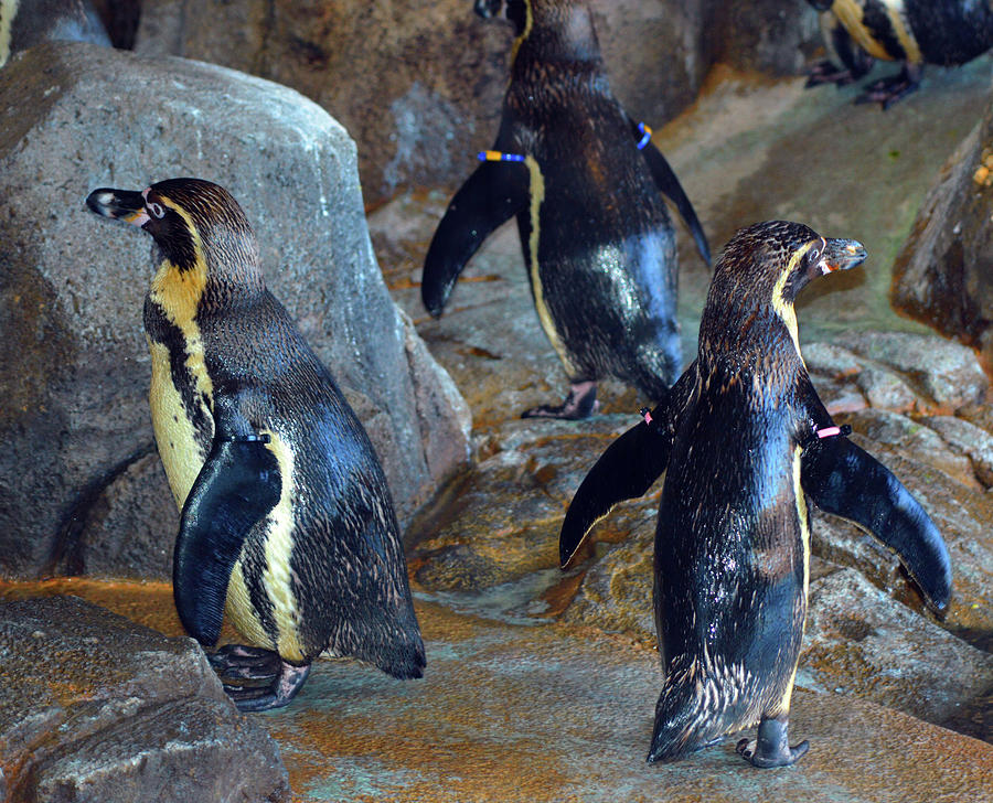 Penguins Photograph - He Was Here Just A Minute Ago by Linda Benoit
