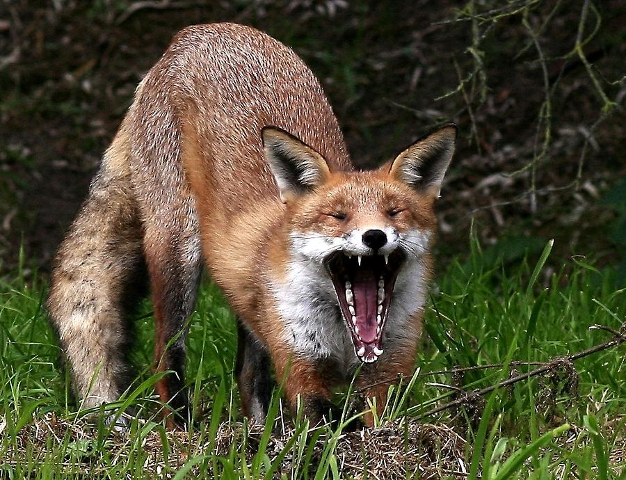 The Red Fox Photograph - He Who Laughs Last by Trevor White