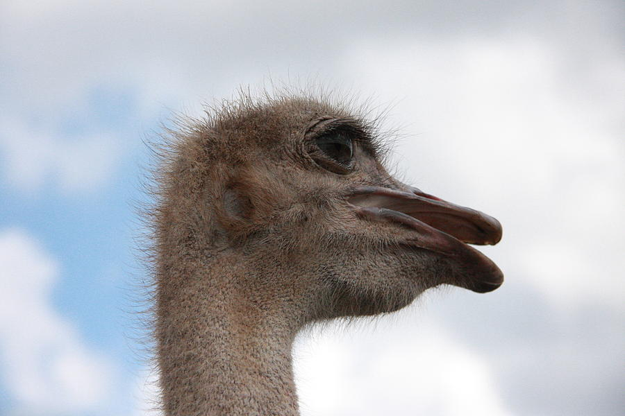Ostrich Photograph - Head In The Clouds by Jonathan Kotinek