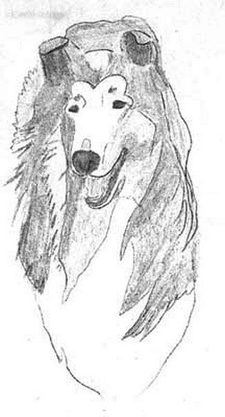 Collie Drawing - Head Sketch by Wendy Jackson