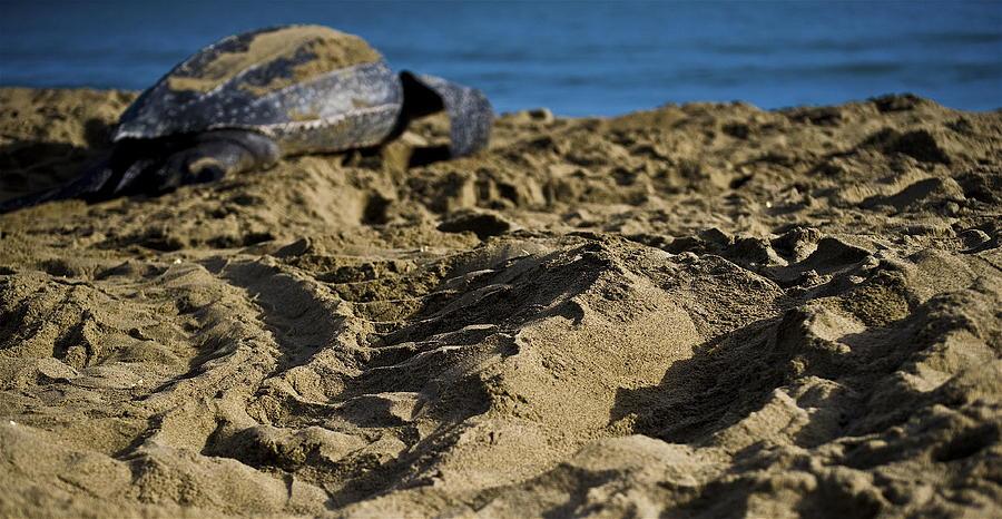 Leatherback Turtle Photograph - Heading Home by Sarita Rampersad
