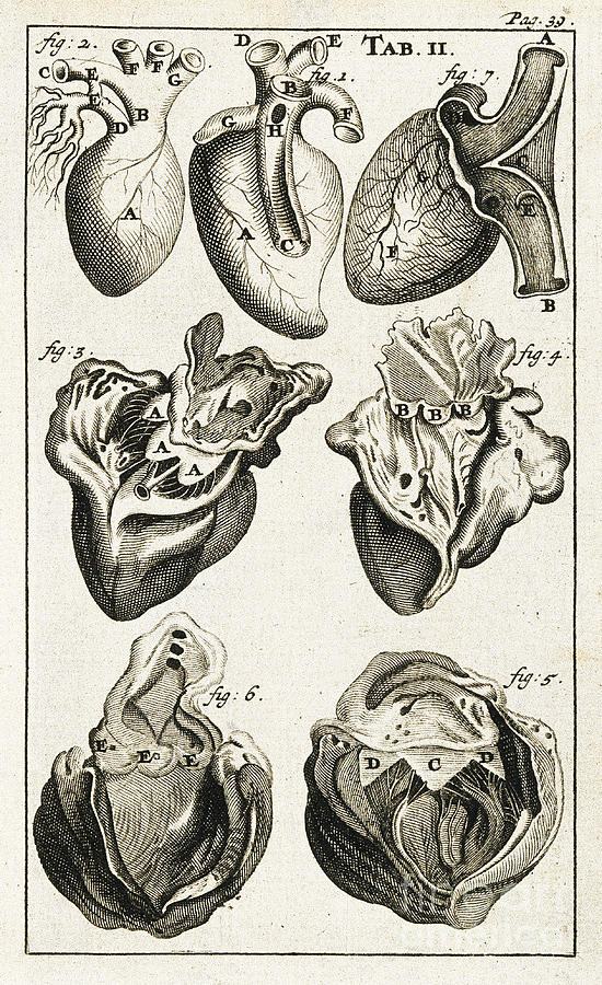 Heart, Anatomical Illustration, 1686 Photograph by Wellcome Images