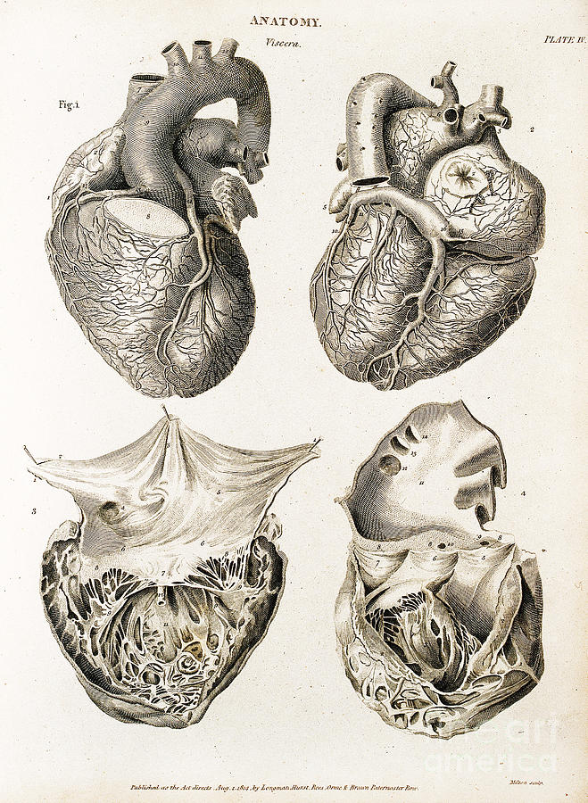Heart Anatomical Illustration 1814 Photograph By Wellcome Images