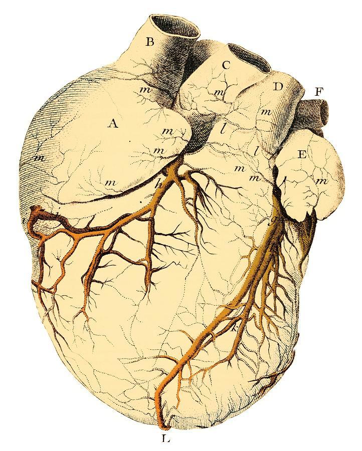 Heart Photograph - Heart Anatomy, 18th Century by