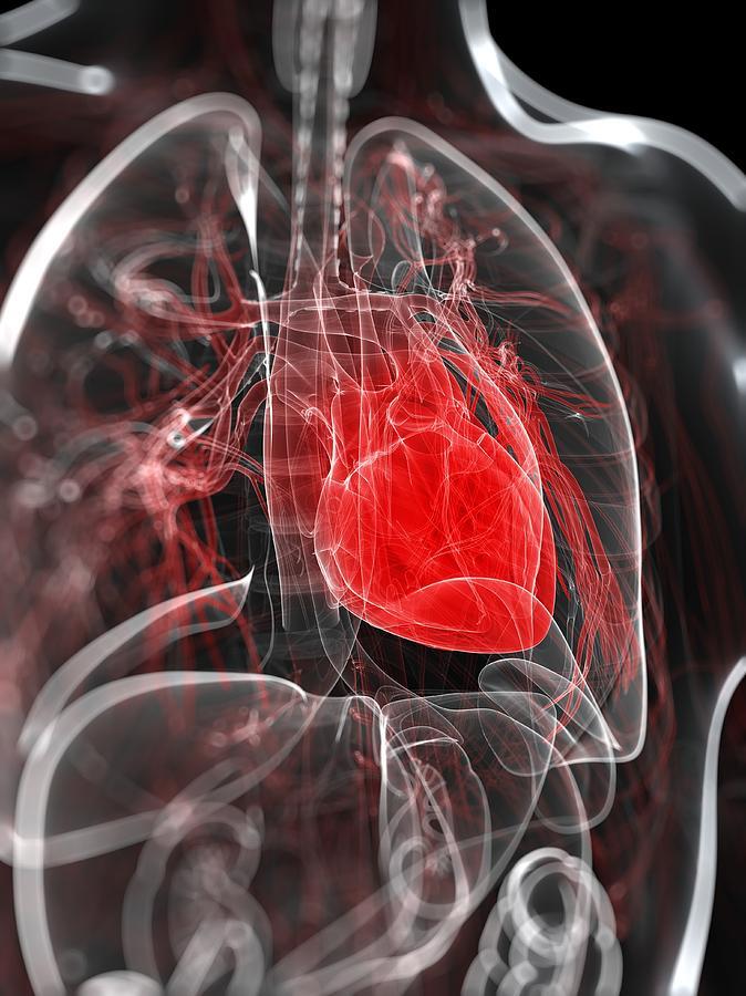 Vertical Digital Art - Heart Anatomy, Artwork by Sciepro