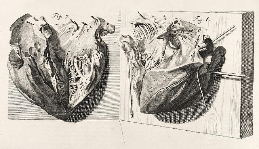 Heart Anatomy, Illustration, 1739 Photograph by Wellcome Images