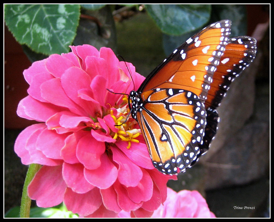 Queen Butterfly Photograph - Hearts On Her Wings by Trina Prenzi