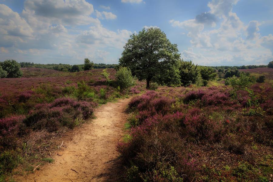 Heath Landscape With Purple Heather Flowers Photograph