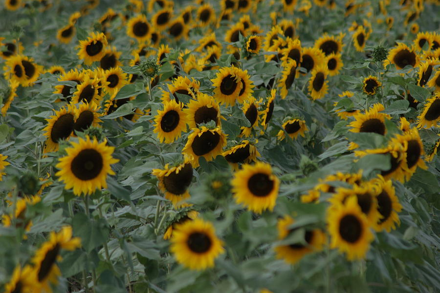 Sunflowers Photograph - Heaven by Beth Vasquez