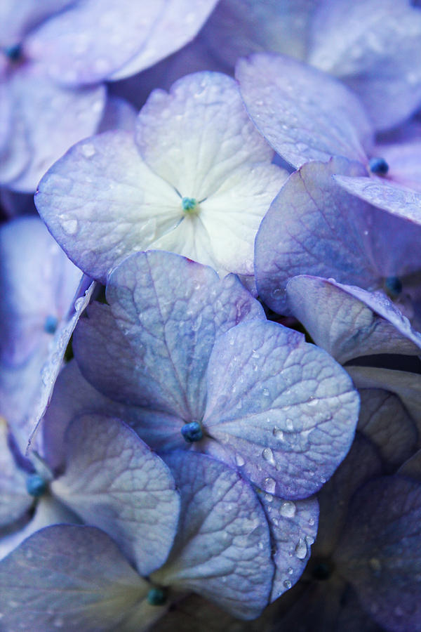 Purple Photograph - Heavenly Hydrangeas by Lynne Guimond Sabean