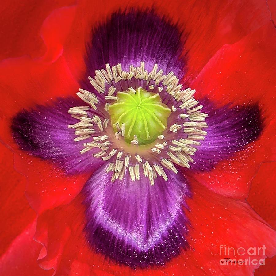 Heavenly Poppy by Jennie Breeze