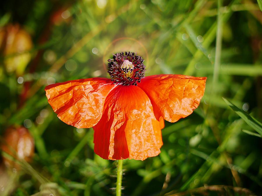 Heavenly Poppy by Richard Reeve