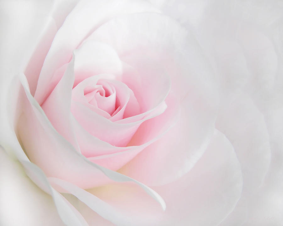 Heaven's Light Pink Rose Flower Photograph By Jennie Marie