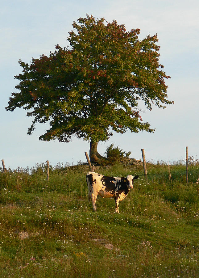 Heifer on the hillside by Natalie LaRocque