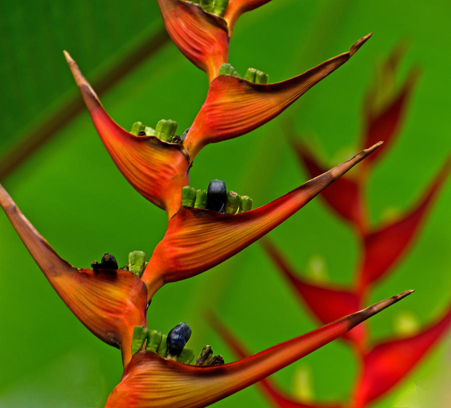 Heliconia Duo by Jean Booth