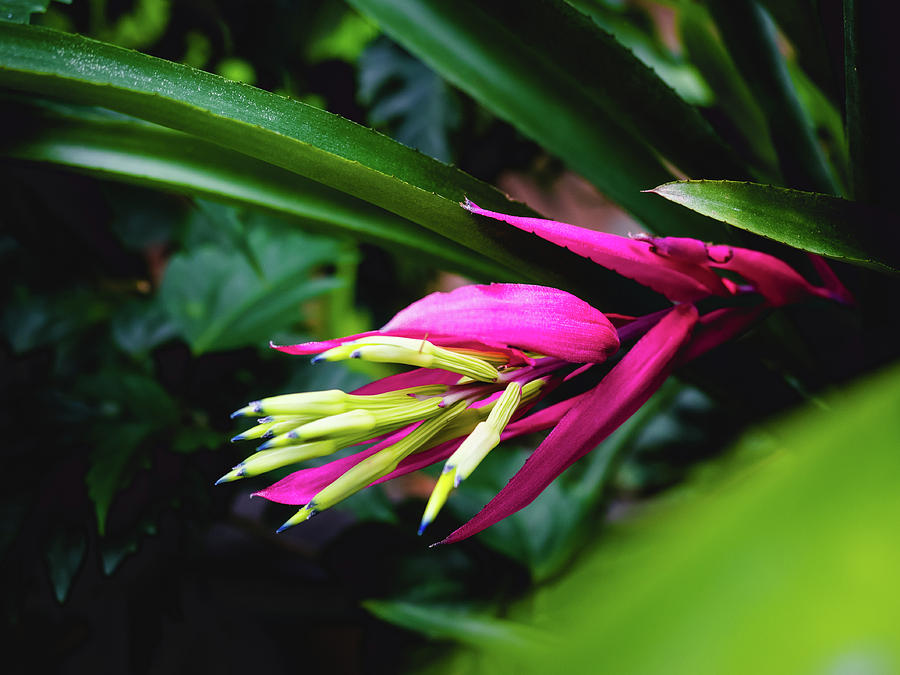 Nature Photograph - Heliconia Subulata - Wild Plant Series by Aline Gaudlitz