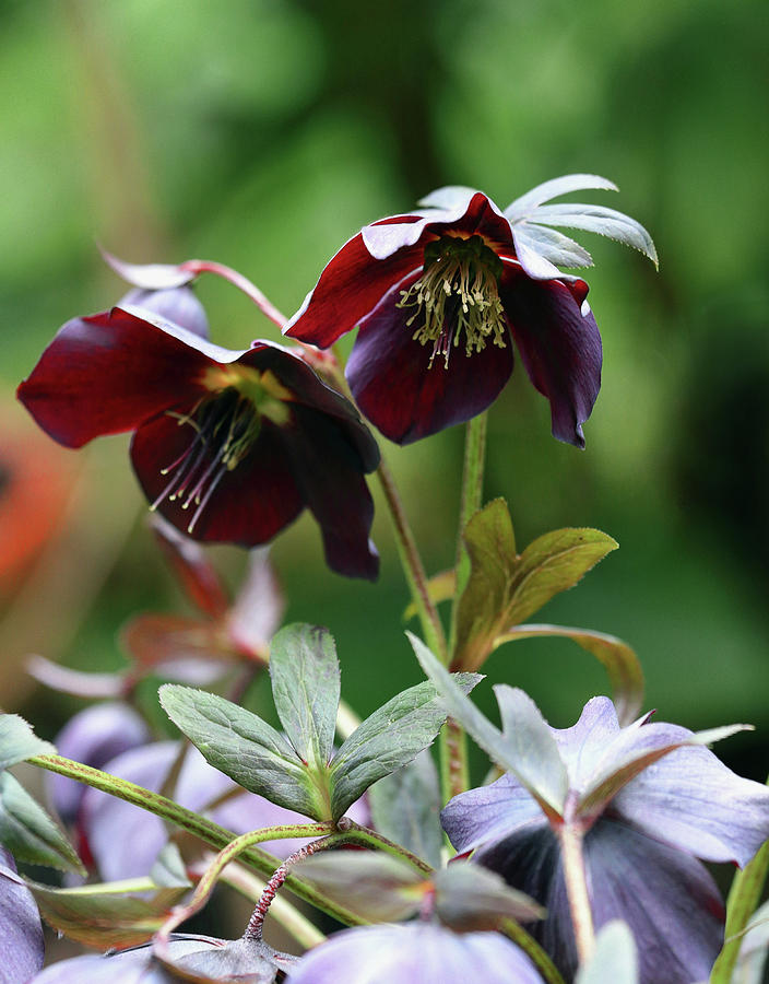 Hellebore Flowers Photograph By Jeff Townsend