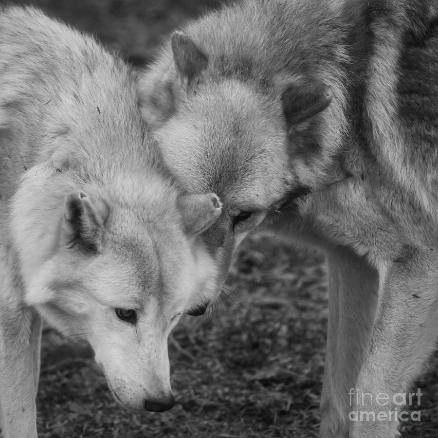 Wolves Photograph - Hello by Ana V Ramirez