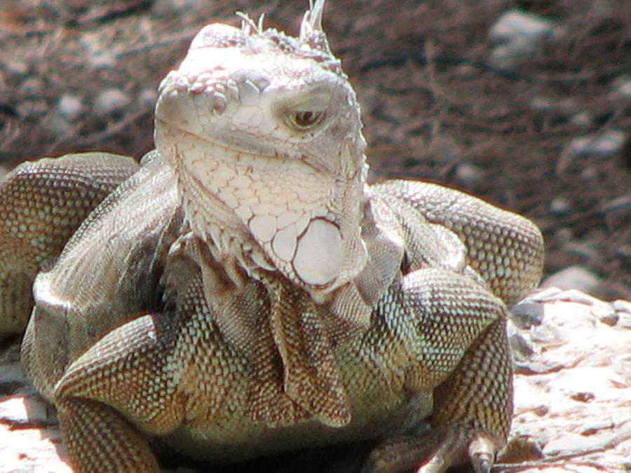 Iguana Photograph - Hello by April Camenisch