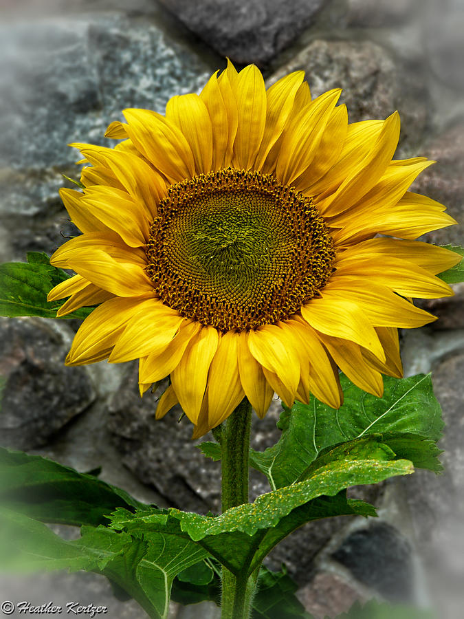 Sunflower Photograph - Hello Sun Shine by Heather Kertzer