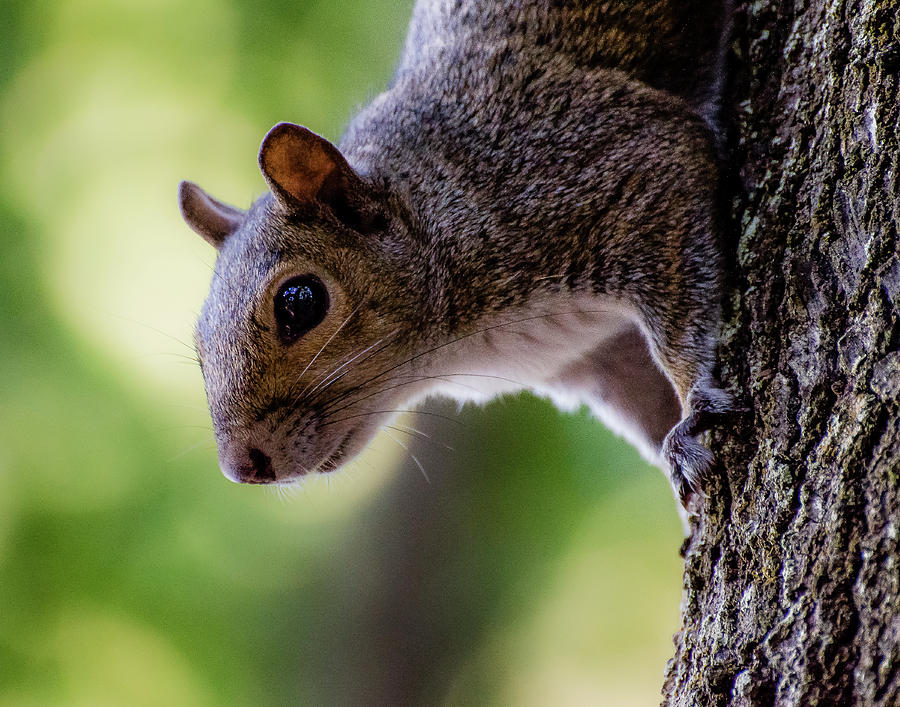 Squirrel Photograph - Hello by Anthony Lauby
