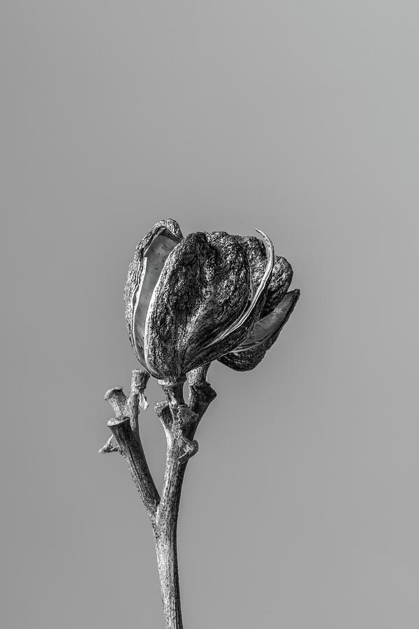 Hemerocallis Decomposed 1 Photograph