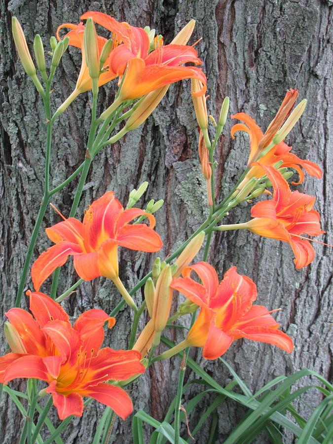 Hemerocallis Photograph - Hemerocallis Fulva by Lyssjart Sj