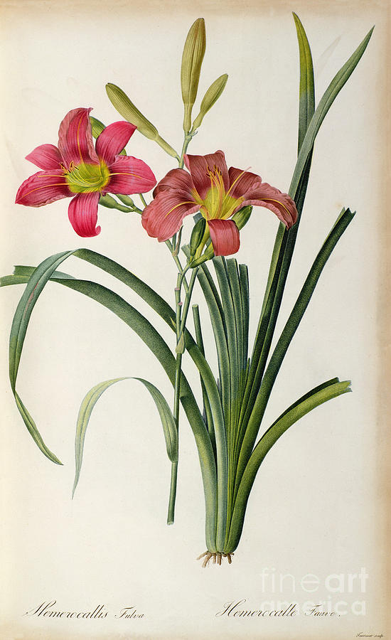 From Painting - Hemerocallis Fulva by Pierre Joseph Redoute