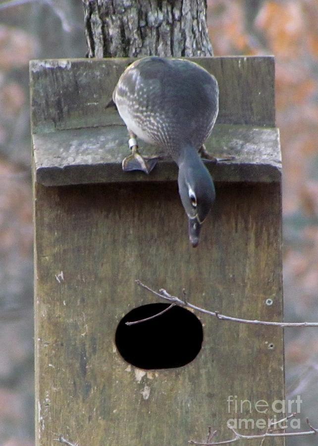Wood Duck Photograph - Hen Wood Duck  by James Seitzinger