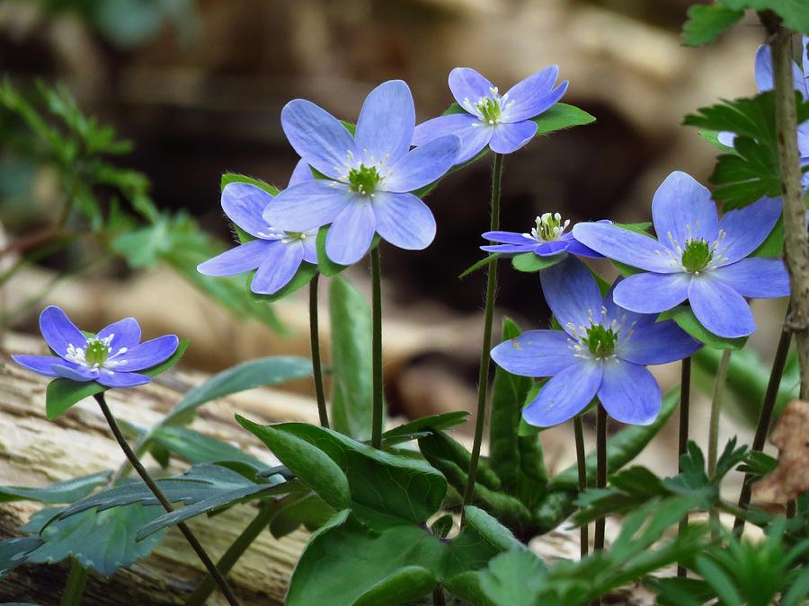 Hepatica Photograph - Hepatica Blue by Lori Frisch