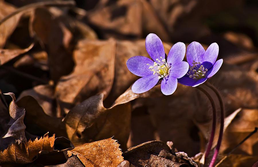Landscape Photograph - Hepatica Flower by Michael Whitaker