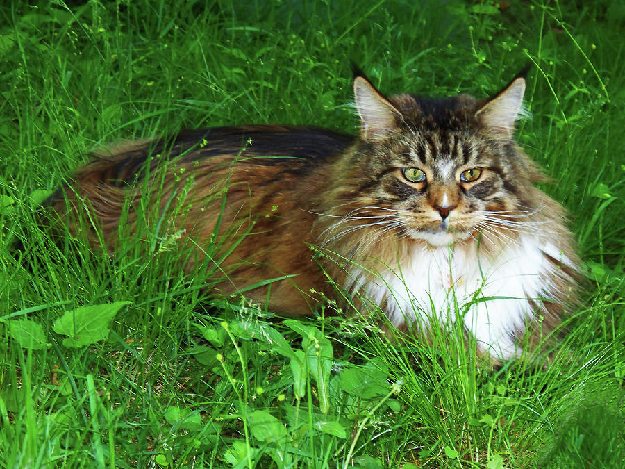 Hercules Maine Coon Elegance by Roger Bester