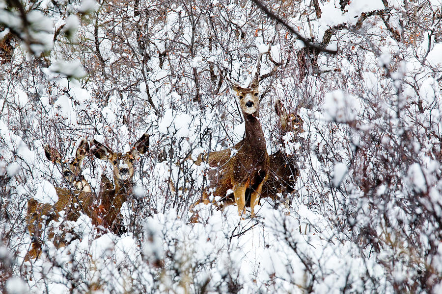 Herd Of Deer In Winter Snowstorm Photograph
